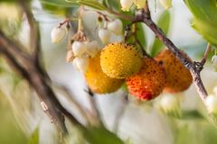 Strawberry Tree (Arbutus Unedo). Close up view of an Strawberry Tree (Arbutus Unedo) blossom flowers Stock Photos