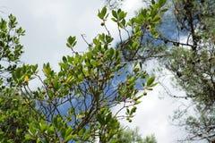 Strawberry tree, Arbutus unedo. Foliage of Strawberry tree, Arbutus unedo Royalty Free Stock Photography