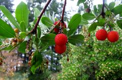 Strawberry tree Arbutus unedo fruit. Royalty Free Stock Photos