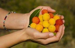 Strawberry tree (arbutus unedo),Huesca, Spain Stock Images