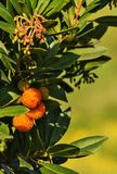 Strawberry tree -arbutus unedo. Impressive strawberry tree fruits , the fruit is red and yellow with a rough surface ,vertical composition royalty free stock photo