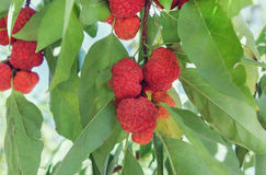 Strawberry tree Stock Images