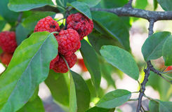 Strawberry tree. Beautiful red fruits of strawberry tree Royalty Free Stock Photo