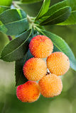 Strawberry tree berries. Ripe fruits of Arbutus unedo in vertical composition Royalty Free Stock Photography
