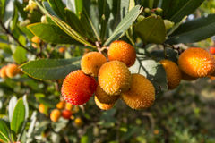 Strawberry tree,cane apple (Arbutus unedo). Strawberry tree o cane apple (Arbutus unedo) fruits Royalty Free Stock Photo
