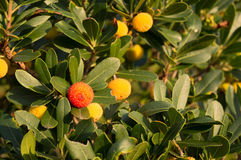Strawberry tree, cane apple (Arbutus unedo) Royalty Free Stock Images