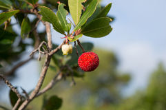 Strawberry tree, cane apple (Arbutus unedo). Arbutus unedo (strawberry tree, occasionally cane apple) plant Stock Image
