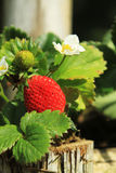 Strawberry on tree Royalty Free Stock Photography