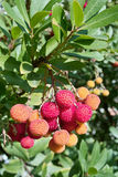 Strawberry tree, (corbezzolo in italian language). Strawberry tree, leaves and mature fruits, arbutus unedo, family ericaceae Stock Photos