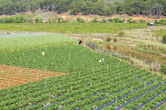 Strawberry tree field. Near Langbiang mountain ,ready for harvest., Da Lat, Lam Dong province, Vietnam. Lam Dong Province is the largest place growing Stock Photo