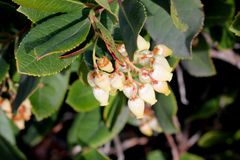 Strawberry tree in flower, Arbutus unedo. Strawberry tree in flower,  Arbutus unedo, small evergreen tree with green serrated leaves, bell shaped flowers in Stock Images