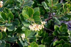 Strawberry tree in flower, Arbutus unedo. Strawberry tree in flower,  Arbutus unedo, small evergreen tree with green serrated leaves, bell shaped flowers in Stock Photos