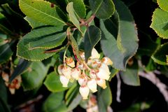 Strawberry tree in flower, Arbutus unedo. Strawberry tree in flower,  Arbutus unedo, small evergreen tree with green serrated leaves, bell shaped flowers in Royalty Free Stock Image