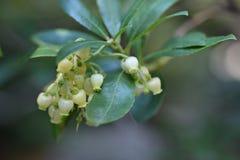 Strawberry tree. Flowers - Latin name - Arbutus unedo royalty free stock photography
