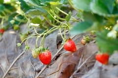 Strawberry tree. Fresh strawberry fruit on the strawberry tree royalty free stock images