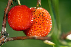 Strawberry Tree Fruit. Closeup view of two red strawberry tree fruits hanging Royalty Free Stock Image