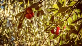 Strawberry tree fruit in the leaves. Vintage effect with blurry stock image