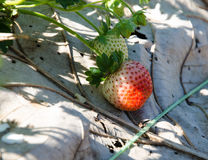 Strawberry Tree . Stock Images