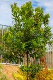 Strawberry Tree. A growing strawberry tree arbutus unedum royalty free stock photos