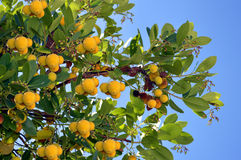 Strawberry Tree Latin name Arbutus unedo. With fruit Stock Image