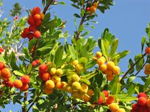 A strawberry tree with mature frui. A strawberry tree (arbutus unedo) an evergreen tree with colorful fruits Royalty Free Stock Images