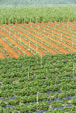 Strawberry tree. Near Langbiang mountain ,ready for harvest., Da Lat, Lam Dong province, Vietnam. Lam Dong Province is the largest place growing vegetable in Stock Photos