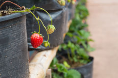 Strawberry tree in pots Royalty Free Stock Images
