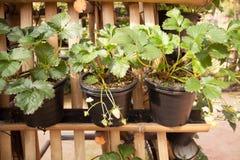 Strawberry Tree. Row of Strawberry Tree In Black Plastic Tree Pot Royalty Free Stock Photos