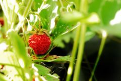 Red strawberry. Strawberry on the tree. Strawberies tree with fruits Stock Photos