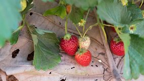 Strawberry and tree. The Strawberry and tree in the garden royalty free stock photo