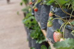Strawberry trees in black plastic planting bags Royalty Free Stock Images