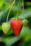 Strawberry Turning Red. Strawberry on stem turning red, with rain drop Royalty Free Stock Image