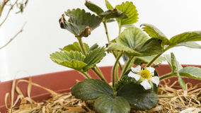 Strawberry. Unripe Strawberry in a pot Stock Images