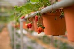 Strawberry on vase. Waiting to be harvest Stock Photo