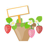 Strawberry vector background. Ripe strawberries in the pot and text box vector background Royalty Free Stock Photos