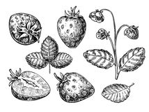 Strawberry vector drawing set. Isolated hand drawn berry, slice, Stock Images