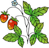 Strawberry vine. With berries, vector illustration. Layers are managed and arranged for easy editing Royalty Free Stock Photo