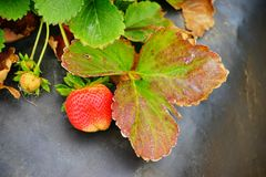 Strawberry on the vine Stock Images