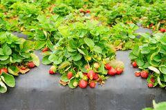Strawberry on the vine Royalty Free Stock Photography