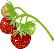 Strawberry on vine. On white background Stock Photos