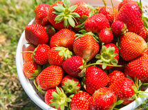 Strawberry in white basket. Pile of red delicious freshly picked strawberry in white basket from the farm Stock Image