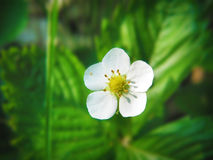 Strawberry white blossom. A blossoming white forest strawberry Royalty Free Stock Photo