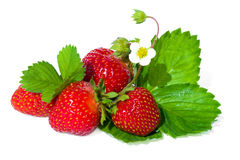 Strawberry with  white flower and green leaves . Stock Photo