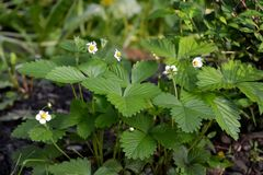 Strawberry with white flowers in city yard. Guerrilla gardening.  Stock Photography
