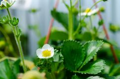 Strawberry white flowers and small fresh green berries royalty free stock photography