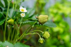 Strawberry white flowers and small fresh green berries royalty free stock photo