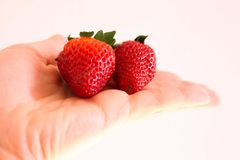 Ripe Strawberries in Hand. The strawberry, whose scientific name Fragaria ananassa, consists of a pseudofruit of the Rosacease family. It belongs to the family royalty free stock photo