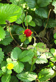 Strawberry. Between wild strawberry leaves strawberry Royalty Free Stock Images