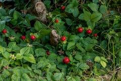Strawberry. Wild strawberry in my garden Stock Image