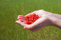 Strawberry in woman hands Stock Photography